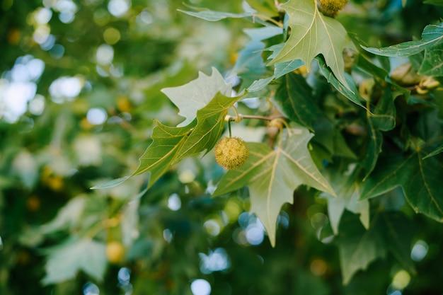 녹색 잎에 플라타너스 열매의 근접입니다.