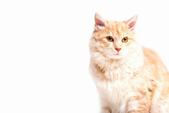 Close-up of tabby cat looking away over white background