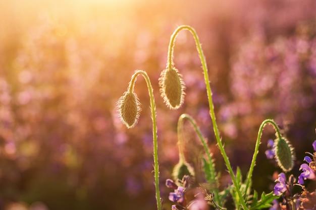 Крупный план нежного цветения, освещенного летним солнцем один красный дикий мак