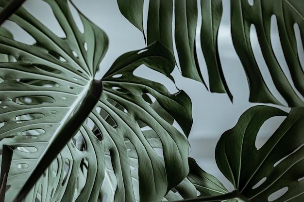 질감 된 아름 다운 자연 몬스 테라의 클로즈업 나뭇잎.