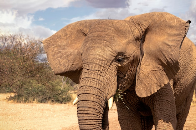 Закройте вверх африканского слона кустарника в лугах в солнечный день.