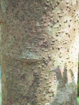シナモンの木の樹皮のクローズアップ。木の樹皮はスパイスです