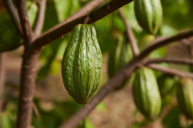 과일 녹색 코코아 포드가 있는 코코아 나무의 클로즈업 텍스트를 위한 나무 복사 공간에서 자랍니다.