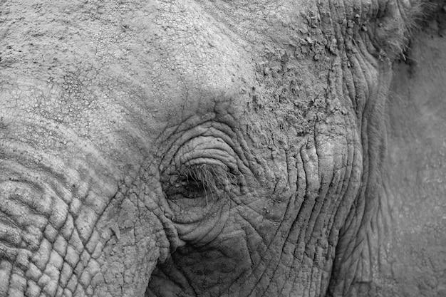 大きな象の顔のクローズアップ