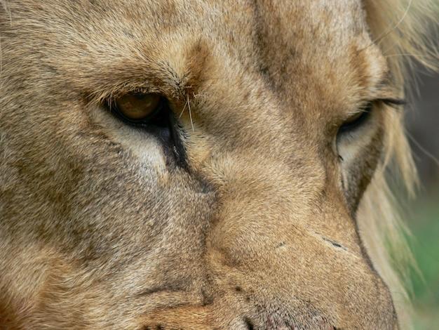 雄ライオンの顔のクローズアップ