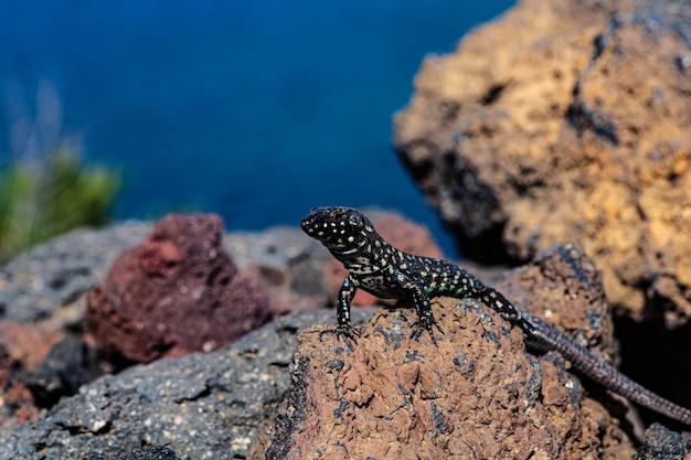 펠라기 섬 리노사(linosa)의 용암 돌에 있는 필폴라 도마뱀이나 몰타 벽 도마뱀을 가까이서 보세요. 시칠리아