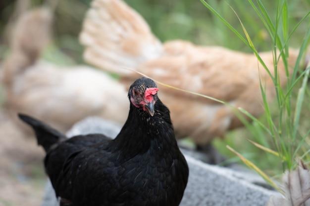 닭의 머리를 클로즈업