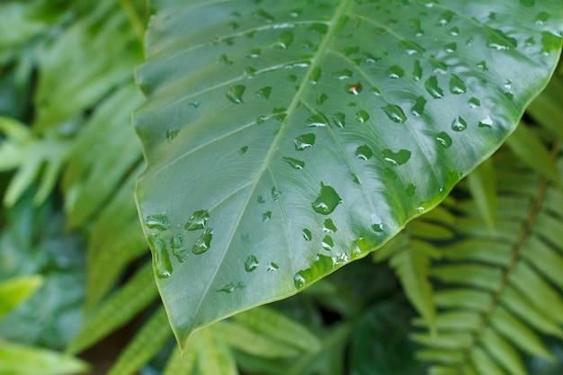 フィロデンドロンの葉のクローズアップ。モンステラ