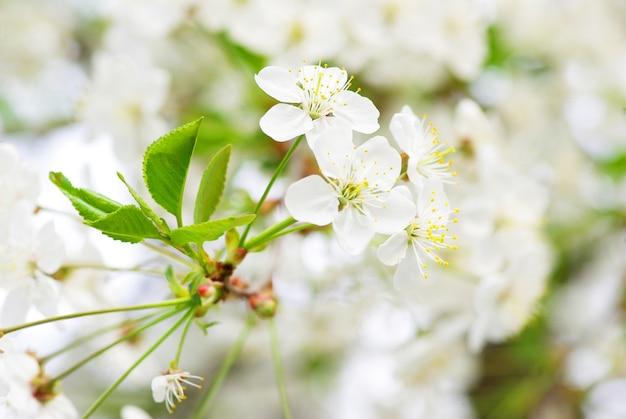봄 벚꽃의 클로즈업