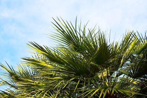 Крупный план верхушки пальмы, крупный план пальмовых листьев. тропический парк, отдых на курорте