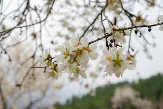 白いアーモンドの花のクローズアップ。春の花