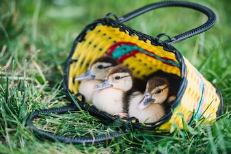 Close-up of three duckling sitting inside the colorful basket on green grass