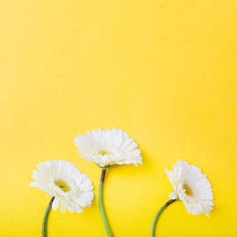 Close-up of three white gerbera flowers on yellow background
