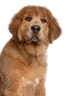 チベットのマスチフの子犬、3ヶ月のクローズアップ