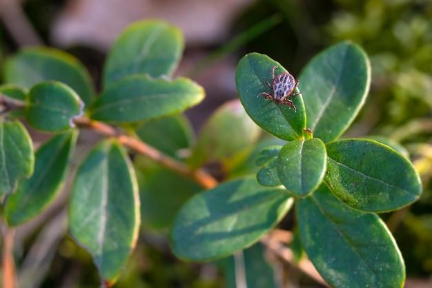 クランベリーの葉を這うダニのクローズアップ