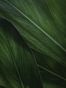 Крупный план использования текстуры тропических зеленых листьев в качестве фона для дизайна