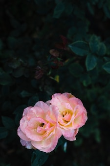 Close-up of two blooming roses