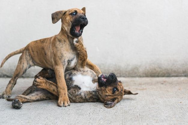 コンクリートの床で一緒に遊んでいる2匹の面白いスペインのアラノ子犬のクローズアップ。コピースペース