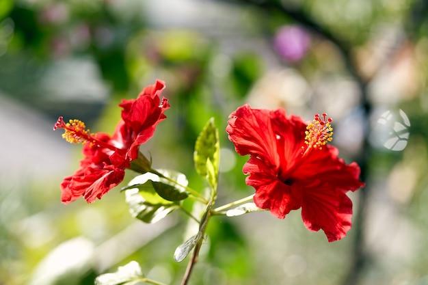 明るい晴れた日の2つのハイビスカスの花のクローズアップ。高品質の写真