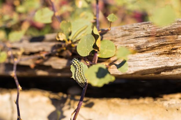 Крупный план двух маленьких гусениц, поднимающихся на зеленый лист