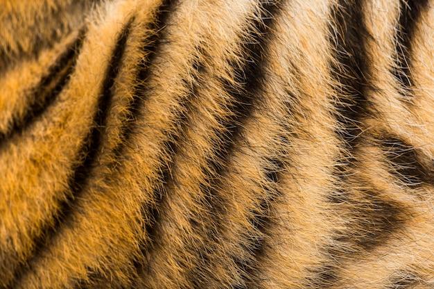 Крупным планом двухмесячный мех тигрят