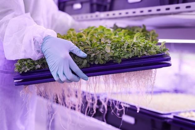 青い光に照らされた保育園の温室で緑の芽とトレイを保持している認識できない女性労働者のクローズアップ、コピースペース