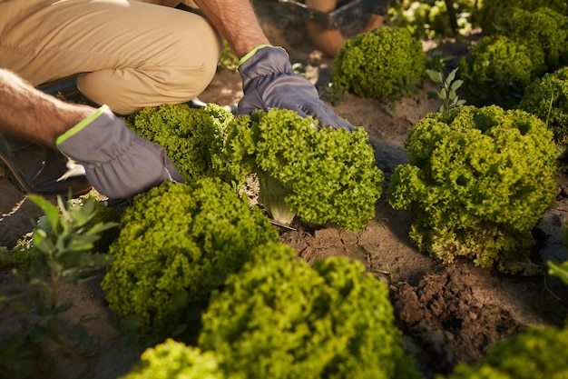Крупный план неузнаваемого мужчины-рабочего, собирающего брокколи во время сбора урожая на овощной плантации на открытом воздухе, копия пространства