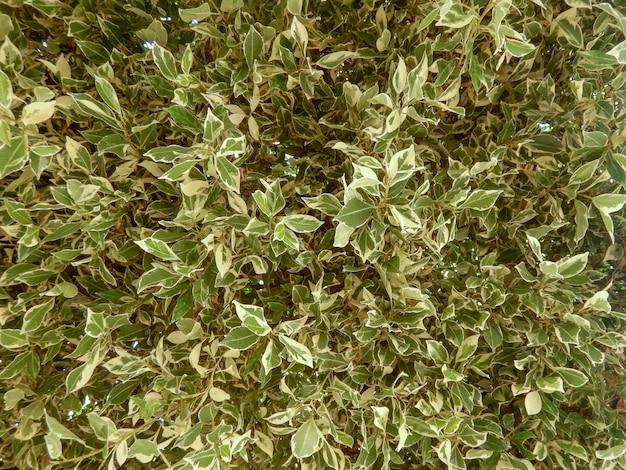 Ficus benjamina, 사이 프 러 스의 잡 색된 녹색과 흰색 잎의 클로즈업
