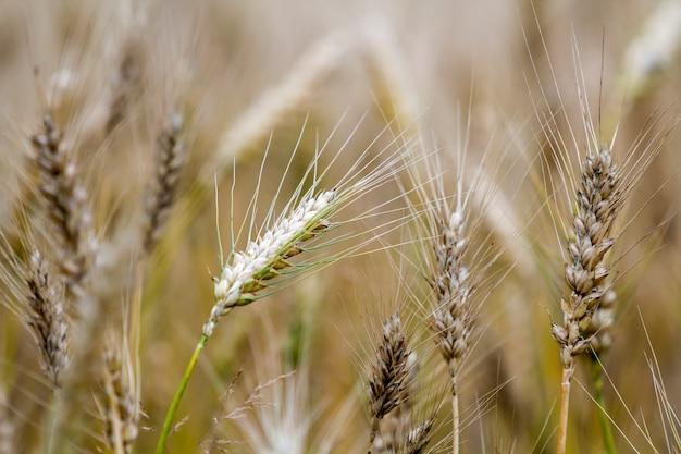 Конец-вверх теплой покрашенной золотистой желтой зрелой сфокусированной головы пшеницы на солнечный летний день на нежности запачкал туманное пшеничное поле луга русую предпосылку.