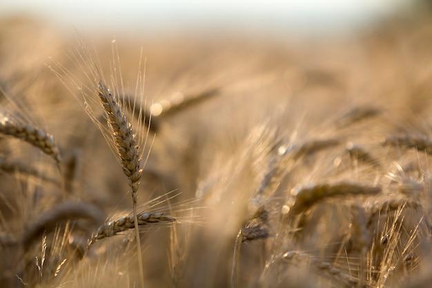 Конец-вверх теплых покрашенных золотых желтых зрелых сфокусированных голов пшеницы на солнечный летний день на нежности запачкал туманное поле пшеницы луга русую предпосылку.