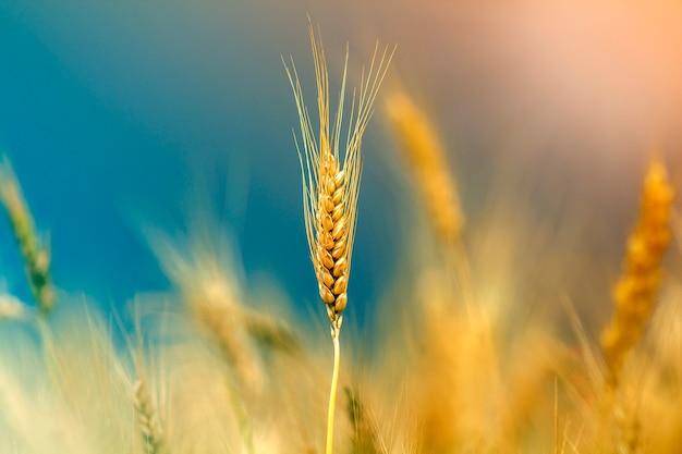 Конец-вверх теплых покрашенных золотых желтых зрелых голов пшеницы на солнечный летний день на нежности запачкал туманное земледелие поля луга красочное, земледелие и богатую концепцию сбора.