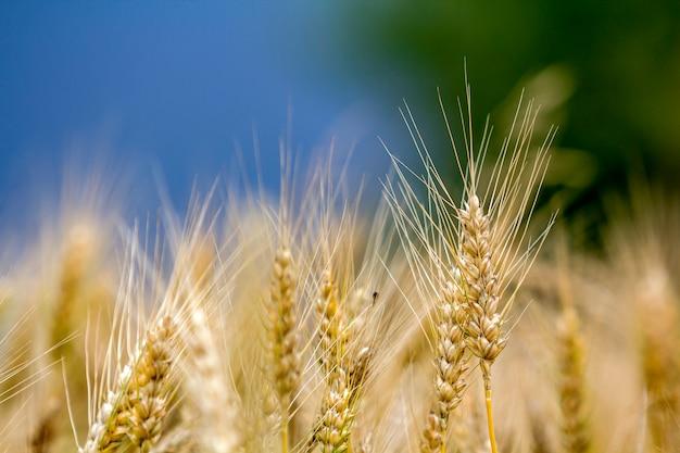 カラフルなぼやけた霧の牧草地の麦畑のカラフルな日当たりの良い夏の日に暖かい色のゴールデンイエロー熟した小麦の頭のクローズアップ。農業、農業、豊かな収穫のコンセプト。