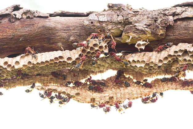 흰색 배경에 알과 애벌레가 있는 말벌과 말벌 둥지의 클로즈업