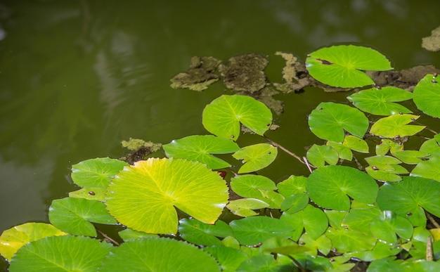 池の睡蓮のクローズアップ