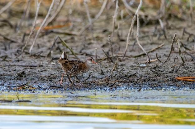 Закройте водный рельс или rallus aquaticus в летнем болоте
