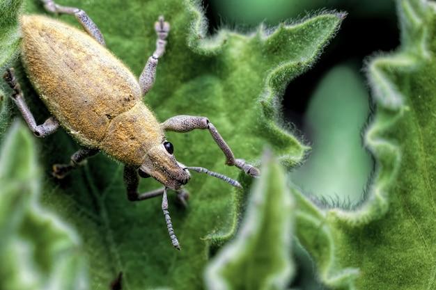 잎에 바 구미의 근접입니다. 라틴어 이름 curculionoidea를 가진 노란 딱정벌레 곤충.