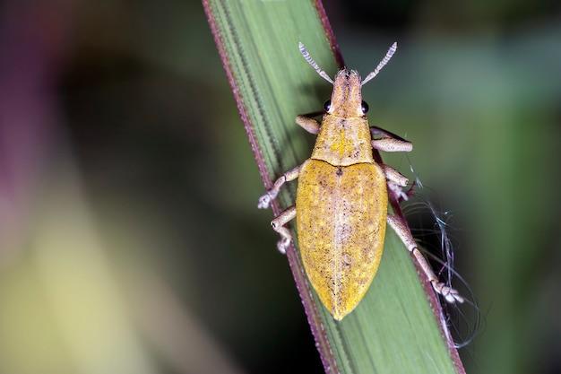 Крупный план долгоносика на листе. желтый жук-насекомое с латинским названием curculionoidea.