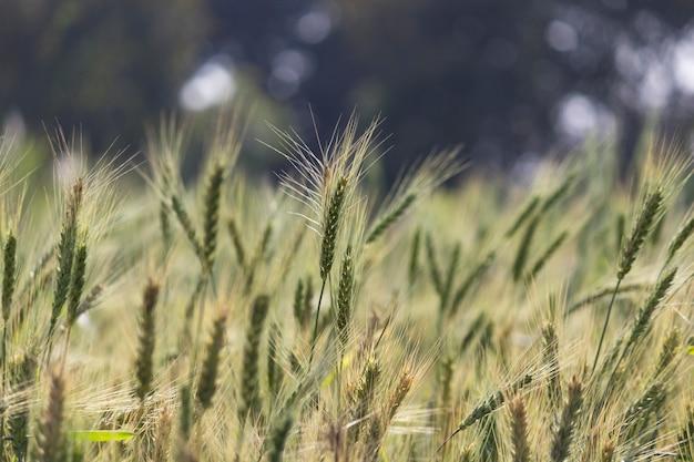 Крупным планом на фоне пшеничного поля