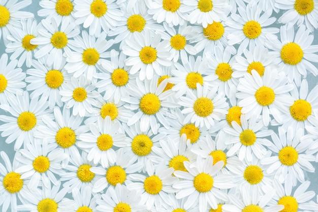 Крупным планом белые цветки ромашки