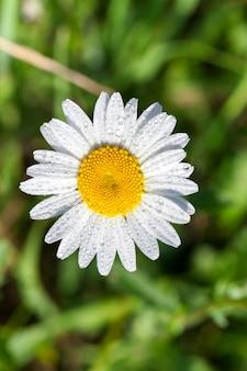 白いデイジーの花のクローズアップ