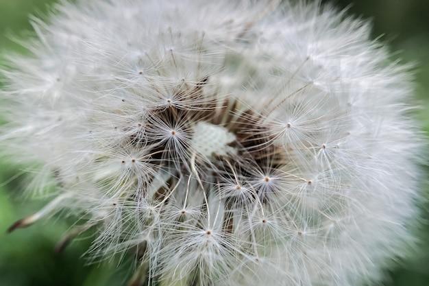 ふわふわの種子と白いタンポポの花のクローズアップ