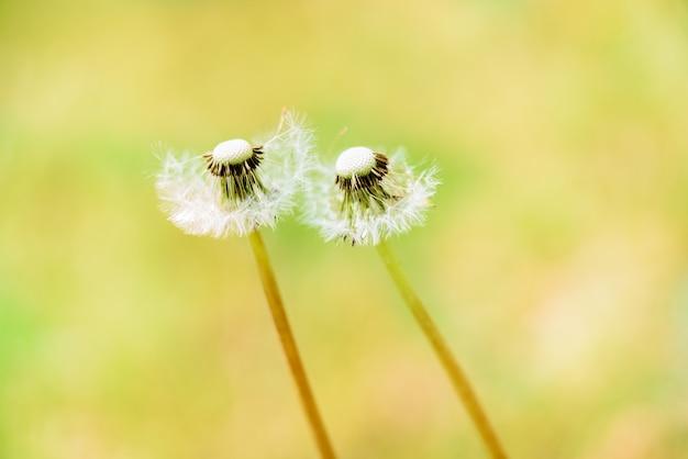 種子と白いタンポポのクローズアップ。明るい黄色のタンポポの草原、ボケ効果を持つ緑の草。デザイン要素。夏のコンセプト