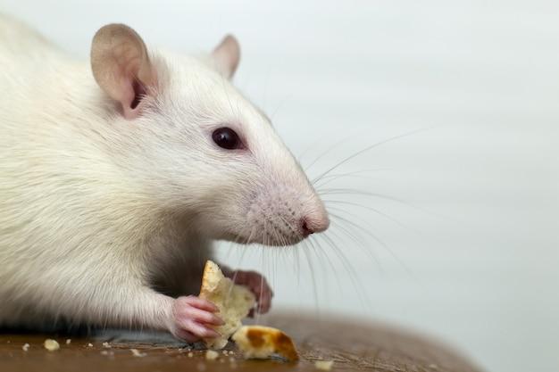 パンくずを食べる白い国産ネズミのクローズアップ。