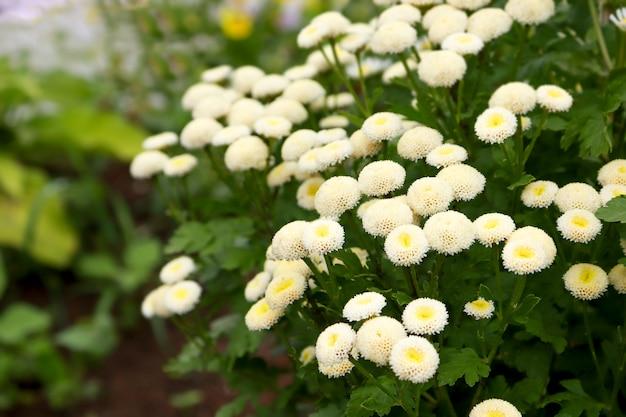 흰색 꽃 피는 야외, 카모마일 배경의 근접.