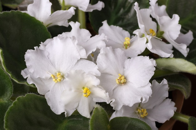 화분에 심은 아프리카 바이올렛의 흰 꽃 닫습니다.