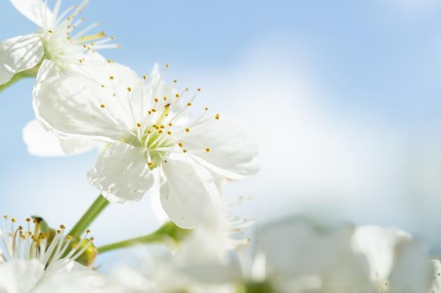푸른 하늘에 대하여 피는 벚꽃 나무에 흰 꽃의 근접.