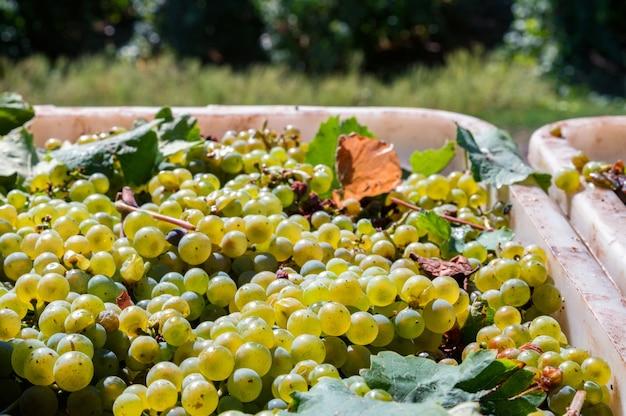 太陽の下での白ブドウの収穫のクローズアップ