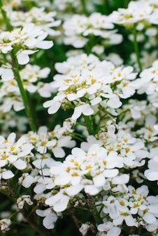 白いイベリスの花のクローズアップ。花の背景。セレクティブフォーカス