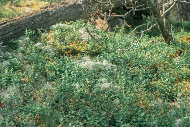 Крупный план белых лишайников и зеленых лесных растений в северном лесу