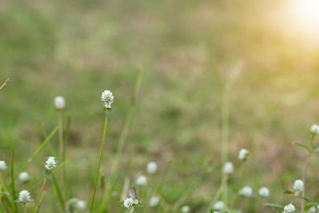Крупным планом белых луговых цветов в поле или травы цветок